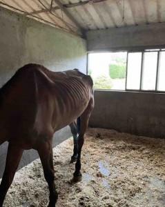 Cavalli gravemente denutriti eppure portati a saltare in gara. Progetto Islander denuncia questi e altri gravi maltrattamenti in un circolo ippico affiliato alla Fise in provincia di Varese.