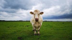 Benjy, giovane toro, non dimostrava interesse per le mucche. Inadatto alla riproduzione, rischiava di essere macellato anzitempo, ma nel 2014 una campagna e la generosità del creatore de Simpson gli salvarono la vita. Ora un documentario racconta la sua storia.