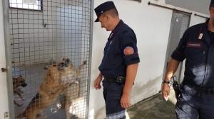 Il canile di Corigliano-Rossano è stato posto sotto sequestro a seguito di una lunga indagine effettuata dai carabinieri forestale di Rossano che ha messo in evidenza maltrattamenti, staffette fuori norma verso nord e altre significative irregolarità.