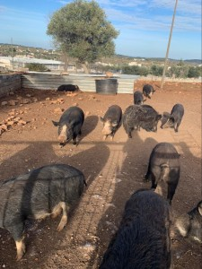 C'è grande mobilitazione e commozione perinvocare la salvezza di 23 maiali in perfetta salute condannati a morte dal Tribunale di Brindisi. Non sono destinabili all'alimentazione umana e offrendo loro una casa si auspica la revoca del provvedimento.