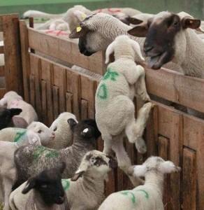 Un provvedimento speciale del Ministero della Salute permette ai macellatori di tenere agnellini e capretti tre giorni nei macelli prima dell'uccisione accrescendo così angoscia e sofferenza dei cuccioli destinati alla tavola di coloro i quali in tal modo scelgono di festeggiare la Pasqua.