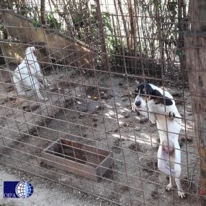 Operazione Spartacus per liberare dalla schiavitù i cani da caccia al cinghiale costretti all'isolamento dentro baracche sporche e fatiscenti, quando non impiegati in una pratica cruenta e pericolosa spesso in modo mortale.
