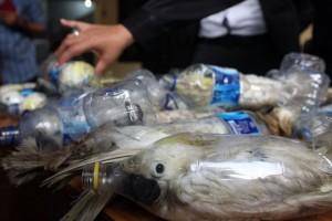 Così i trafficanti di fauna selvatica fanno viaggiare i pappagalli esotici. Molti arrivano a destinazione morti.