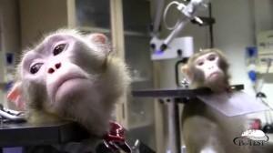 scimmie vivisez