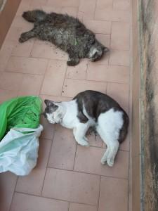 Più di 20 gatti avvelenati a Sorrento, mici giovani e in ottima salute, senza che finora nessuno abbia mosso un dito per una bonifica del territorio. Si confida nelle indagini delle forze dell'ordine.