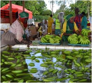 Raccolta e trattamento delle famose banane somale