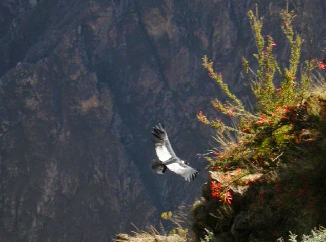 Condor andino che sorvola il Colca Canyon in Perù
