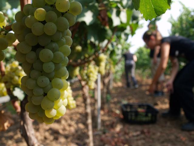 La raccolta dello Chardonnay nelle tenute Cantele a Guagnano (Lecce)