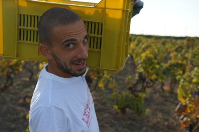 Raccolta dell'uva nei vigneti Attanasio, Manduria (Taranto)