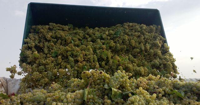 Pioggia di Chardonnay nelle tenute Candido a San Donaci (Brindisi)