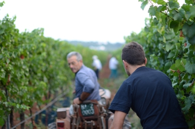 Vendemmia nei vigneti de I Pàstini, viticultori della Valle d'Itria - fra Cisternino e Locorotondo