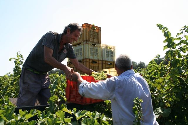 Vendemmia nelle tenute Agricole Vallone fra Brindisi, San Pancrazio Salentino e Carovigno
