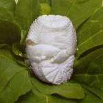 Pampanella