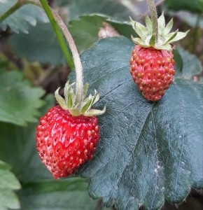 fragole attimis