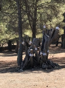 Un tentativo di cura di olivi attaccati dalla Xylella