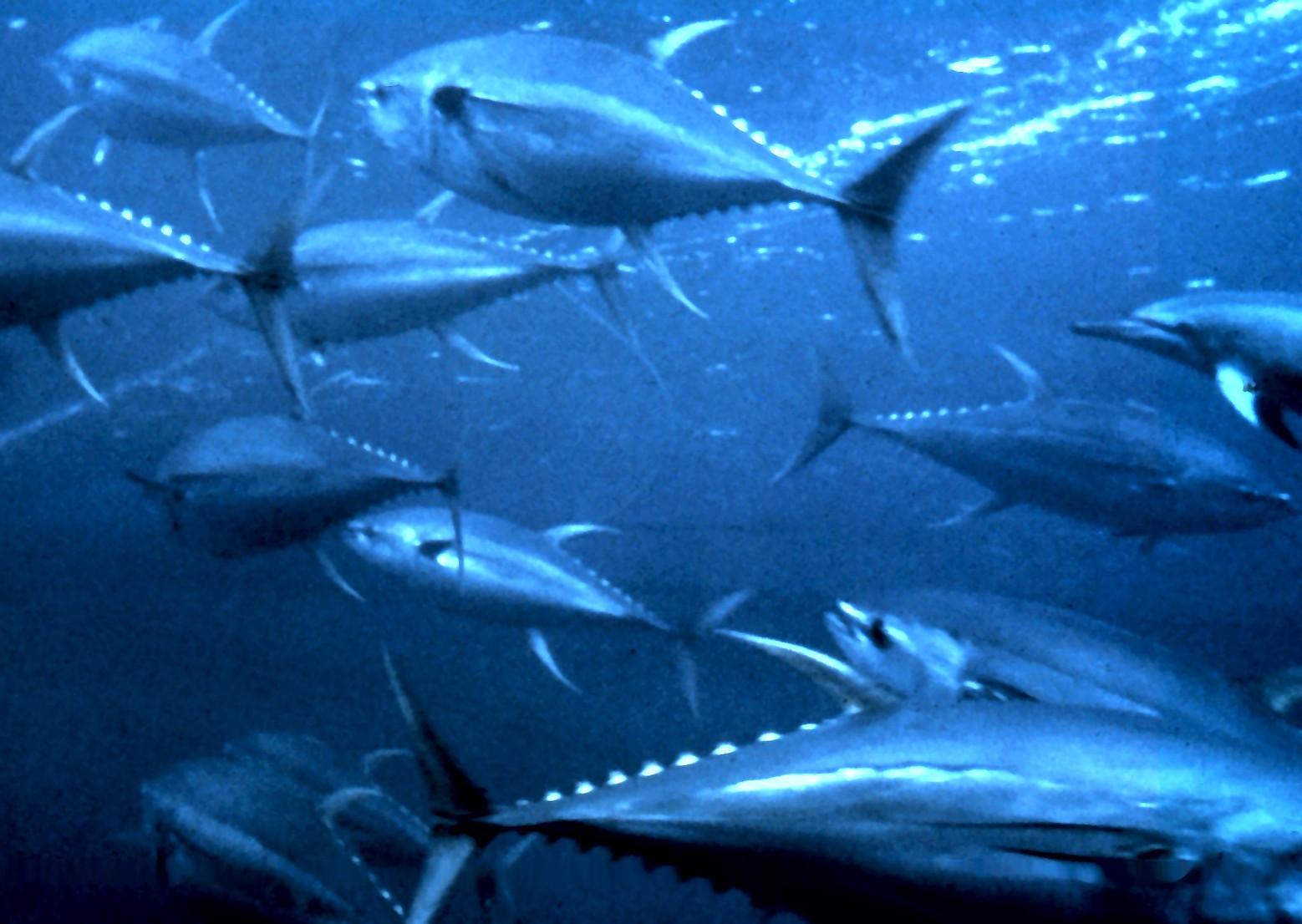 Yellowfin_tuna_nurp