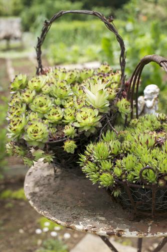 Adorabili piante i Sempervivum, vegetano in quasi piena autonomia e in qualunque condizione climatica