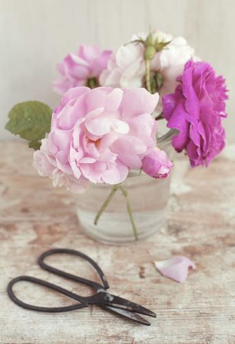 Se cercate una rosa antica molto profumata con fioritura<br>continua, Rosa odorata, o Rosa ?Marie Pavie?, dai petali<br>rosa carne che scoloriscono al bianco, piacerà anche a chi<br>ha il terrazzo perché adatta a essere coltivata in vaso