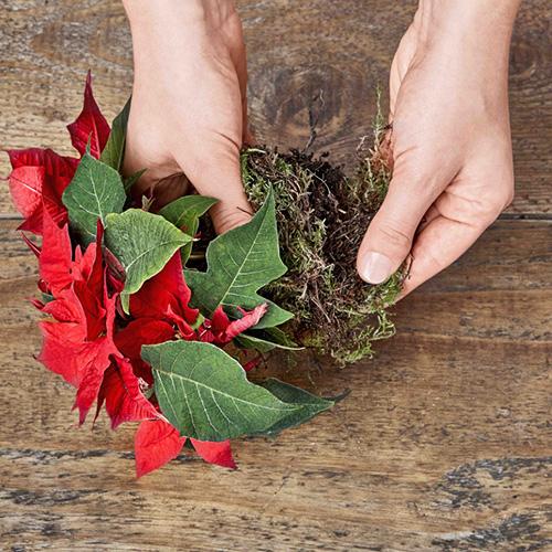 Rimuovete delicatamente la Poinsettia in miniatura dal suo vaso e avvolgete il terriccio con del muschio
