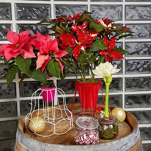 Create un portavaso originale posizionando la Poinsettia nei vecchi paralumi di differenti forme e colori