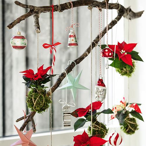 Per creare le Stelle di Natale pendenti, rimuoverle attentamente dai loro vasi, coprire le radici con il muschio e avvolgere intorno ad esse del filo