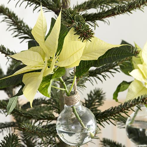 Una Stella di Natale recisa in un piccolo vaso di vetro. La parte superiore è avvolta da uno spago, utilizzato anche per fissare il piccolo vaso all'albero