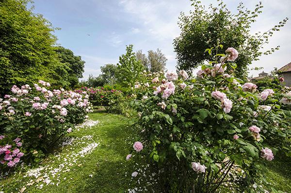 La preziosa collezione di rose antiche e inglesi di Castello Quistini è in mostra tutte le domeniche di maggio e giugno