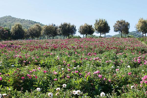 Il Centro Botanico Moutan in provincia di Viterbo ospita un giardino monotematico dedicato alle peonie (visite fino al 31 maggio)