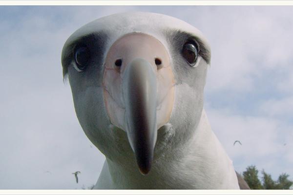 <em>Albatross</em> di Chris Jordan - La pellicola porta gli spettatori in un viaggio visivo nel cuore di una tragedia ambientale straordinariamente simbolica. È un tour guidato nel profondo dell'anima, trasmettendo un profondo messaggio di riverenza e amore che sta già raggiungendo un pubblico di milioni di persone in tutto il mondo. Su una delle isole più remote del nostro pianeta, decine di migliaia di piccoli albatros giacciono morti sul terreno, i loro corpi sono pieni di plastica. Ritornando sull'isola per diversi anni, il team ha assistito ai cicli di vita e morte di questi uccelli come una metafora a più livelli per i nostri tempi. Superando i modelli stilistici dei tradizionali film ambientali o documentari, questa storia è incorniciata nel vivido linguaggio della cinematografia digitale ad alta definizione e circondata da milioni di uccelli vivi in uno dei più bei santuari naturali del mondo