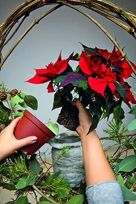 Step 7: inserire la Stella di Natale nel vasetto di vetro (foto Stars For Europe)