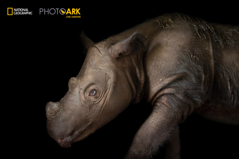 Harapan, a four-year-old male Sumatran rhino (Dicerorhinus sumatrensis), at White Oak Conservation Center.