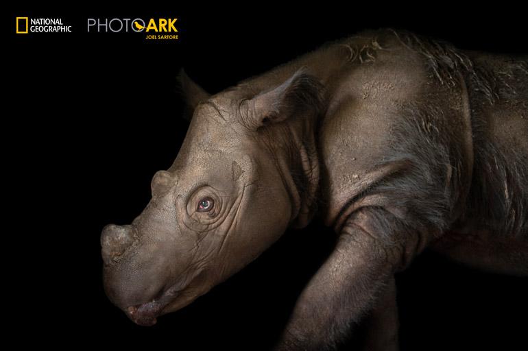Harapan, a four-year-old male Sumatran rhino (Dicerorhinus sumatrensis), at White Oak Conservation Center.